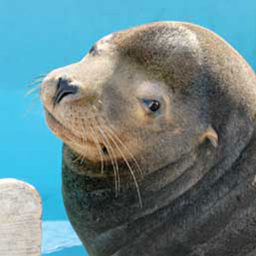 Adopt-a-Seal® - Chippy