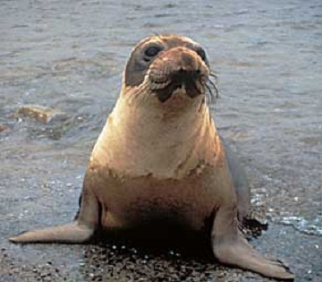 Adopt-a-Seal® - Cueball