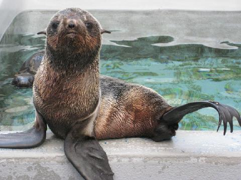 Cliff Kringle northern fur seal