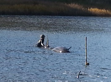 Dolphin Rescue in Morro Bay
