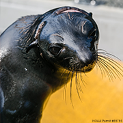 Adopt-a-Seal: 6-Week Subscription