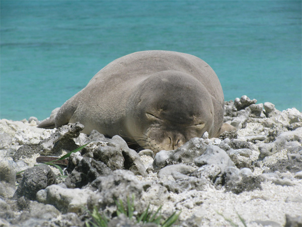 HMS hawaiian monk seal dr. michelle barbieri