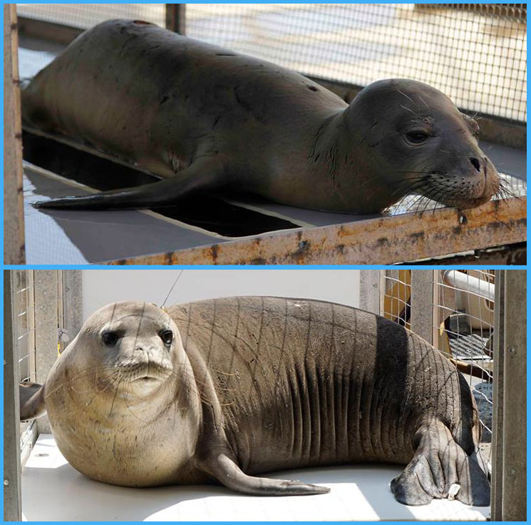 Hawaiian monk seal Niho`ole before and after