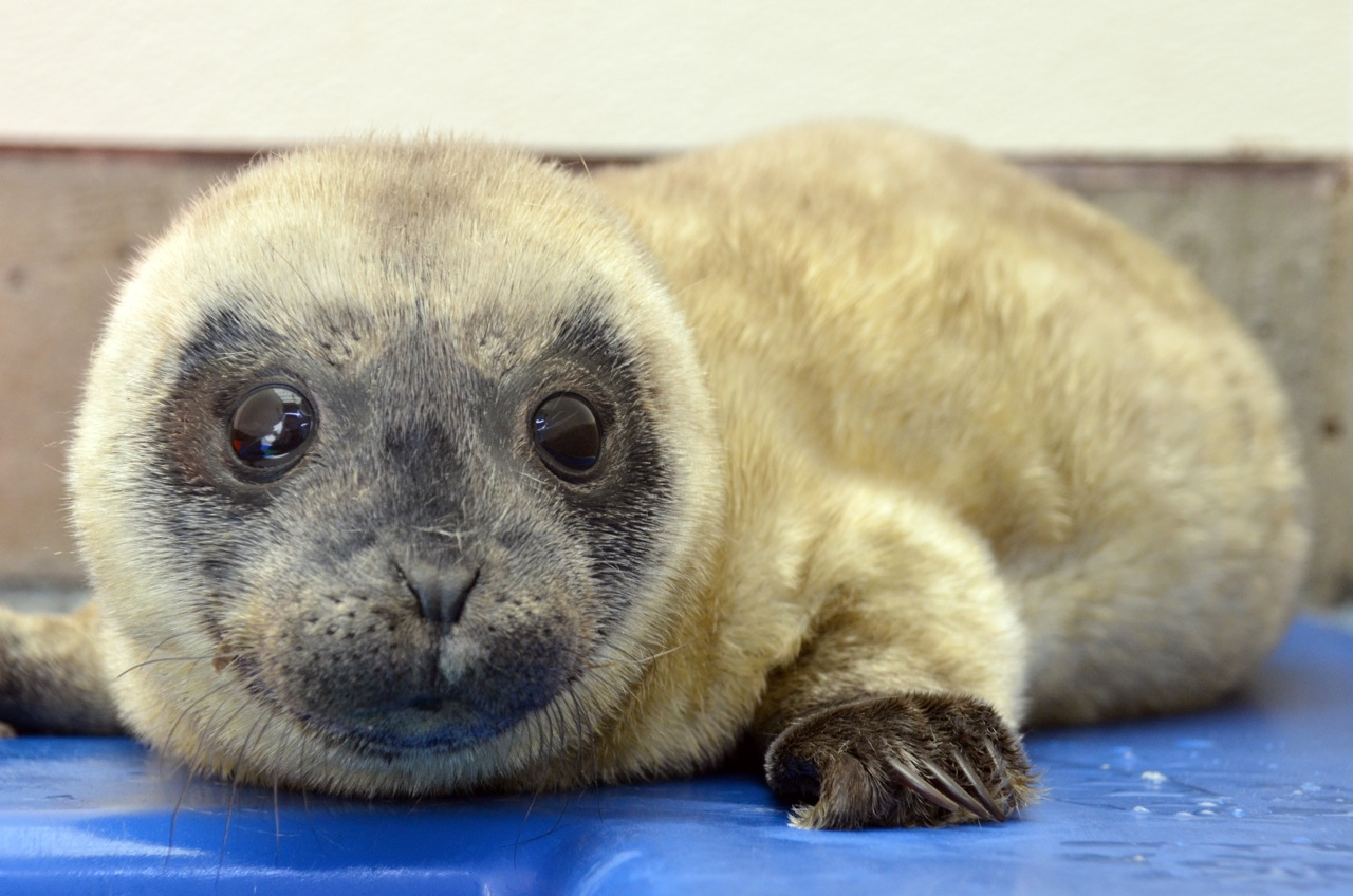 Bumblebee - our 2000th harbor seal