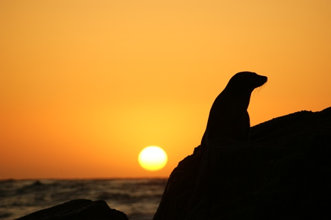 Sea Lion at Sunset