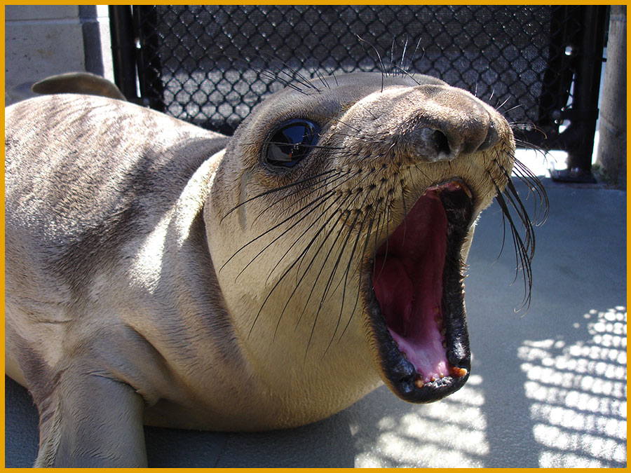 Vocal elephant seal