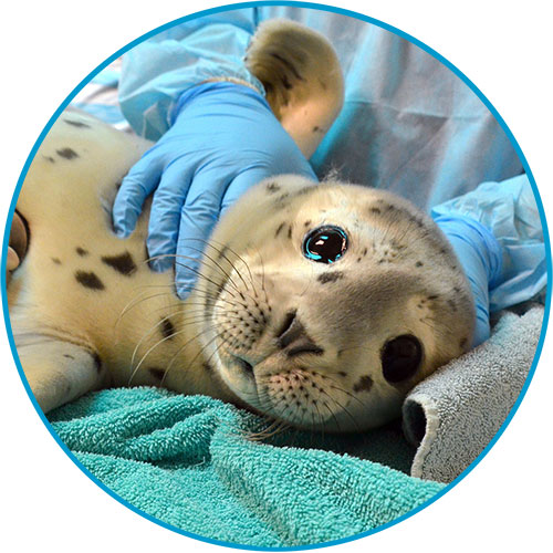 Adopt-a-Seal Bogey