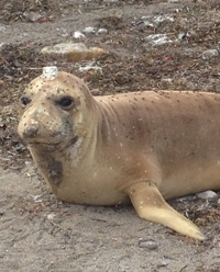 Cappy, Northern Elephant Seal, is resighted