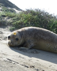 Domo, Northern Elephant Seal, is resighted