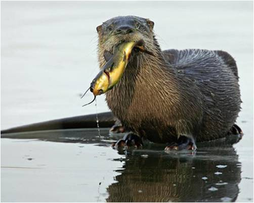 river otter with fish in mouth