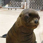 Click here for more information about Adopt-a-Seal® - Astro