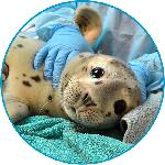 Click here for more information about Adopt-a-Seal® of the Month Club