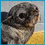 Click here for more information about Adopt-a-Seal® Rudy Miramontes  Exclusive Digital Download!